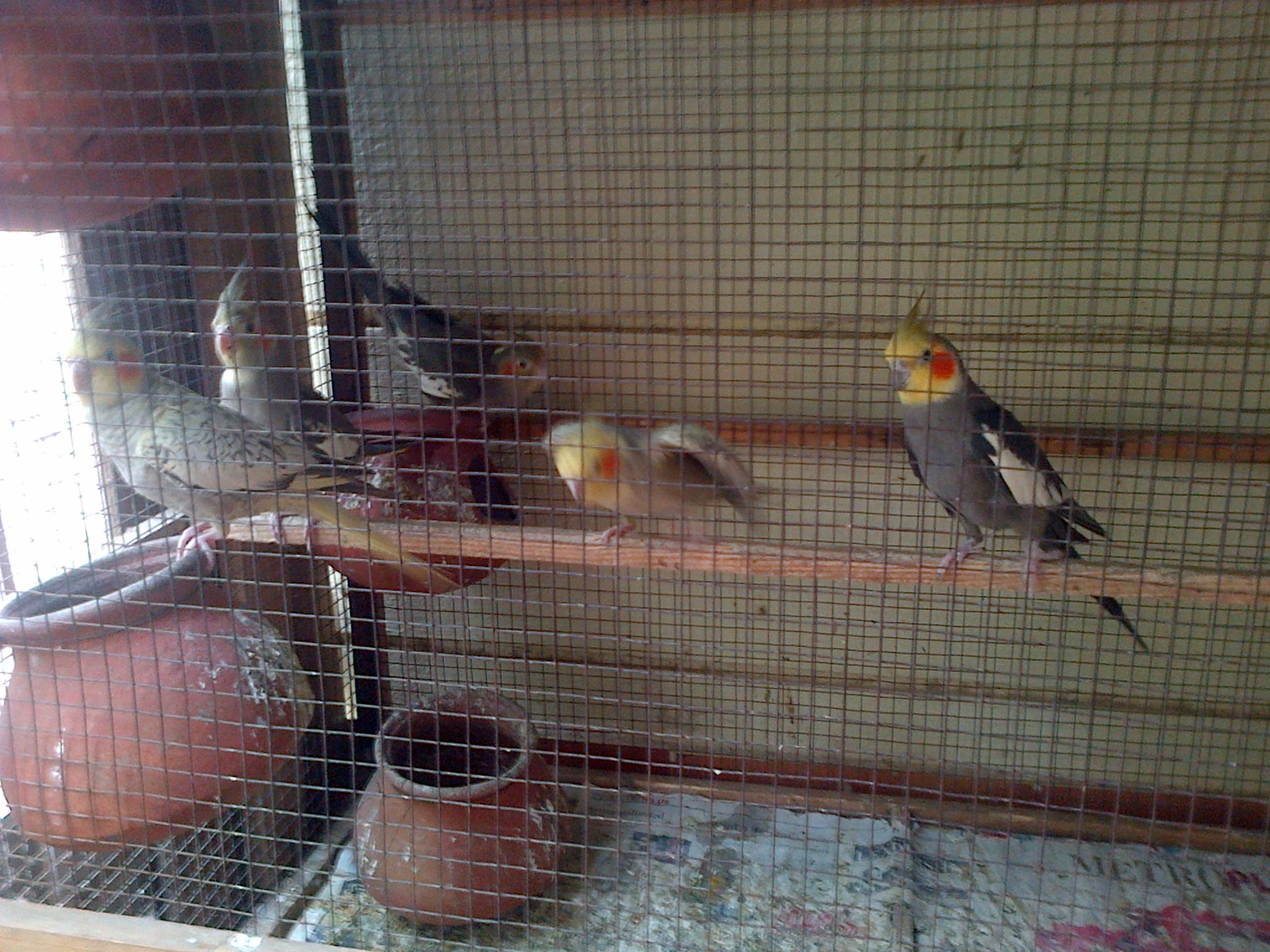 Australian Cocktail birds for sale in chennai | Lion